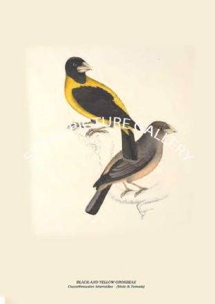 BLACK-AND-YELLOW GROSBEAK - Coccothraustes Icterioides